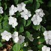 Impatiens walleriana 'Xtreme White Improved'