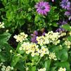 Lantana camara 'Bandana Light Yellow'