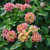 Lantana camara 'Little Lucky Peach Glow'