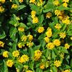 Lantana camara 'Little Lucky Pot of Gold'