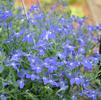 Lobelia erinus 'Hot Night Blue'