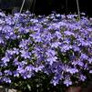Lobelia erinus 'Hot Waterblue'