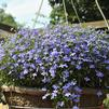 Lobelia erinus 'Hot Waterblue Improved'