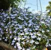 Lobelia erinus 'Techno Heat Light Blue '11'