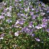 Lobelia erinus 'Techno Heat Light Purple'