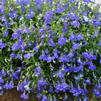 Lobelia erinus 'Hot Springs Dark Blue'