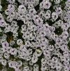 Lobularia 'Blushing Princess 10-11'