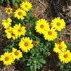 Osteospermum 'FlowerPower Yellow Evolution'