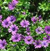 Osteospermum 'Margarita Cool Purple'