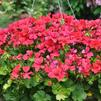 Pelargonium interspecific 'Caliente Dark Rose'