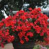 Pelargonium interspecific 'Caliente Orange'