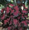 Caladium 'Florida Red Ruffles'