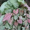 Caladium 'Moonlight'