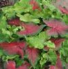 Caladium 'Highlighter'