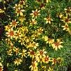 Coreopsis hybrid 'Route 66'
