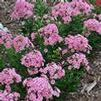 Phlox paniculata 'Peppermint Twist'