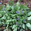 Pulmonaria saccharata 'Gaelic Magic'