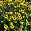 Rudbeckia fulgida 'Pot of Gold'