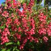 Angelonia 'Archangel™ Cherry Red'