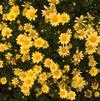 Argyranthemum 'Beauty Yellow'