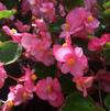 Begonia 'Green leaf Sprint Plus Rose'