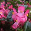 Begonia x hybrida 'Green leaf Big Pink'