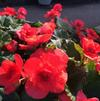 Begonia 'Solenia Red Improved'
