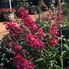 Buddleia 'Monarch®Prince Charming'