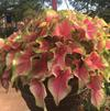 Caladium 'Tiki Torch'