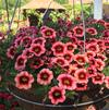 Calibrachoa 'Superbells Coralberry Punch'