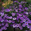 Calibrachoa 'Superbells Evening Star'