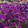 Calibrachoa 'Superbells Grape Punch Improved'
