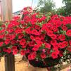 Calibrachoa 'Superbells Red Improved 2016-17'