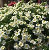 Calibrachoa 'MiniFamous® Neo White Yellow Eye'