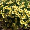 Calibrachoa 'MiniFamous® Yellow Red Vein'