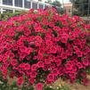 Calibrachoa 'Starshine™ Cherry'