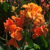 Canna x generalis 'Cannova Orange Shade'