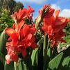 Canna 'Toucan Red Shades'