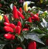 Capsicum 'Maya Mambo Yellow Red'