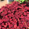 Coleus 'Ruby Slippers'