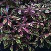 Coleus 'Under the Sea Sea Urchin Copper'