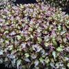 Coleus 'Under the Sea Sea Monkey Apricot'