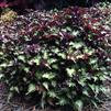 Coleus 'Under the Sea Sea Monkey Purple'