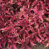 Coleus 'Under the sea Pink Reef'