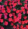 Impatiens walleriana 'Super Elfin® XP Salmon'