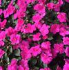 Impatiens walleriana 'Super Elfin® XP Rose'