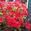 Pelargonium interspecific 'Caliente® Fire'
