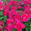 Pelargonium interspecific 'Calliope® Crimson Flame'