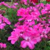 Pelargonium interspecific 'Calliope® XL Pink'