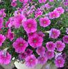 Petunia 'SUCCESS! Pink Vein'